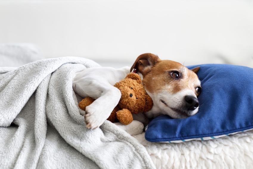 Szczeniak jack russell terriera leżący w łóżku z misiem oraz jego charakter i wychowanie