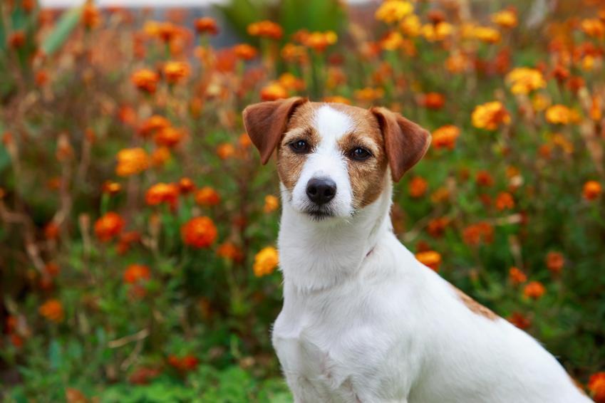 Pies rasy jack russell terrier na tle kwiatów, a także usposobienie jack russell terriera