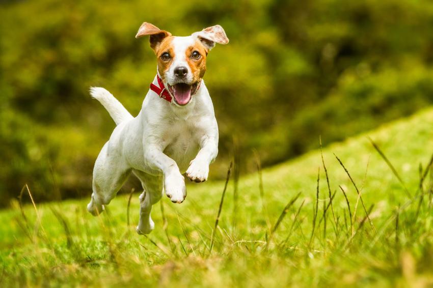 Pies rasy jack russell terrier podskakujący podczas spaceru, a także usposobienie jack russell terriera