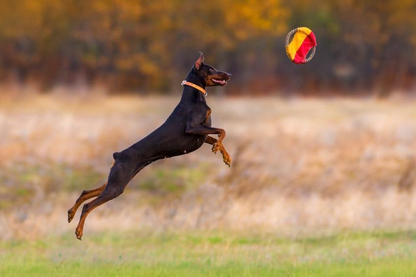 Doberman biegający po polu za zabawką, a także psy z rodowodem i cena dobermana