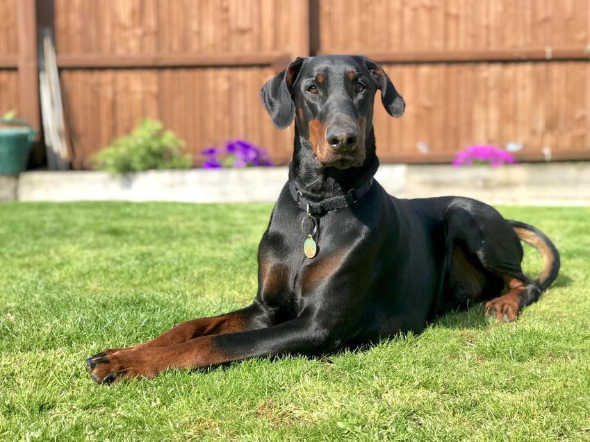 Czarny doberman siedzący na trawie na podwórku, a także cena dobermana z rodowodem