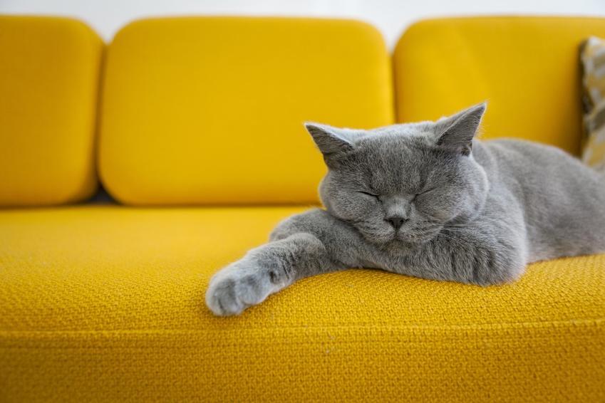 Szary kot brytyjski na żółtej sofie oraz jego cena, a także cechy charakterystyczne