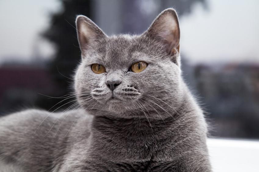 Szary kot brytyjski, czyli angielski kot krótkowłosy i jego cena oraz charakterystyka