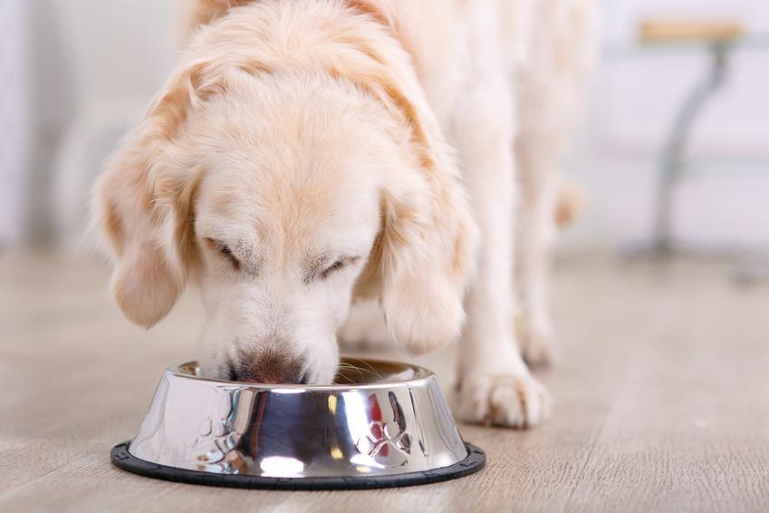 Pies jedzący karmę z miski oraz jak karmić psa i czym karmić dużego psa