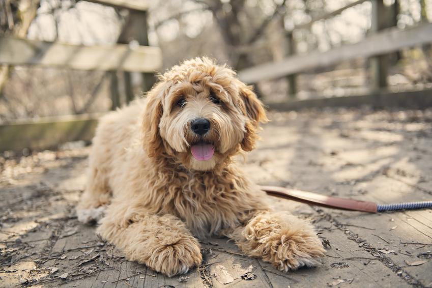Pies rasy australian labradoodle siedzący w parku oraz cena labradoodle w Polsce