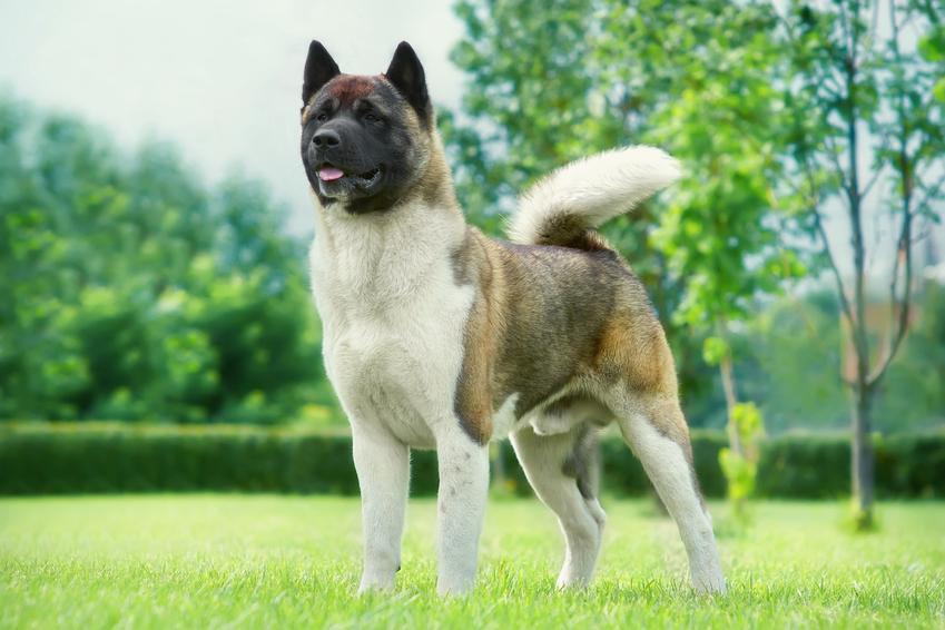 Pies rasy akita amerykańska na podwórku na tle zieleni oraz jego charakter