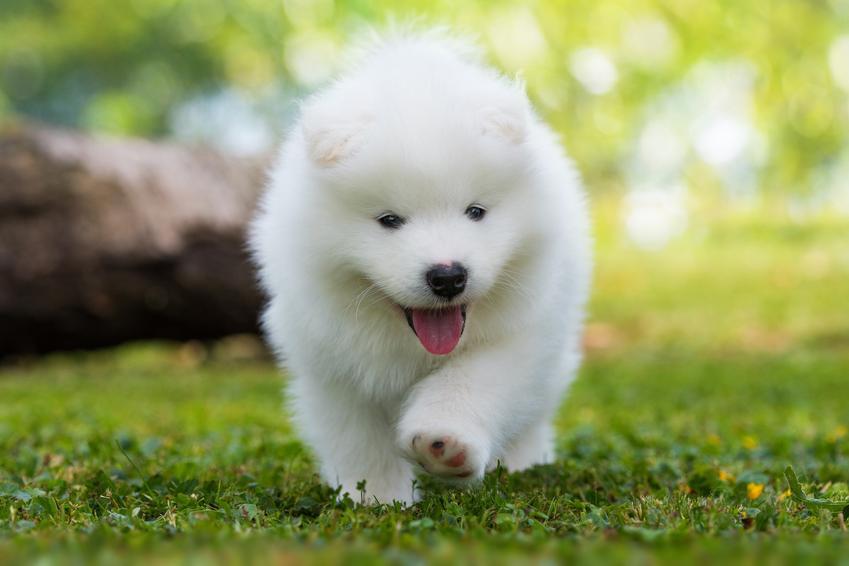 Pies rasy samoyed na trawniku podczas spaceru, a także cena samojeda z rodowodem