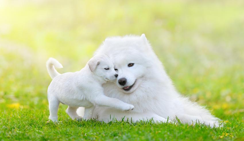 Szczeniak samoyeda z matką na trawie oraz najlepsze hodowle psów samoyedów w Polsce