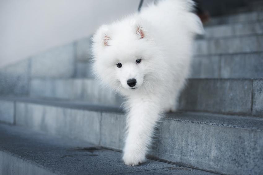 Pies samojed schodzący po szarych schodach, a także najlepsze hodowle psów samoyedów w Polsce