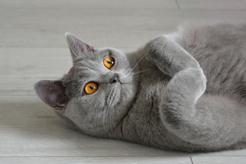 Kot brytyjski na podłodze, a także jego charakter, docelowa waga i ile żyje kot brytyjski