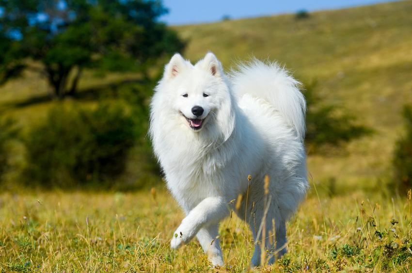 Pies rasy samoyed podczas spaceru po trawie, a także charakter samoyeda