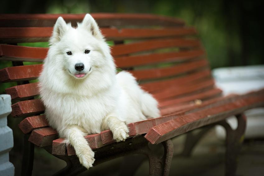 Pies rasy samoyed leżący na ławce w parku, a także charakter samoyeda