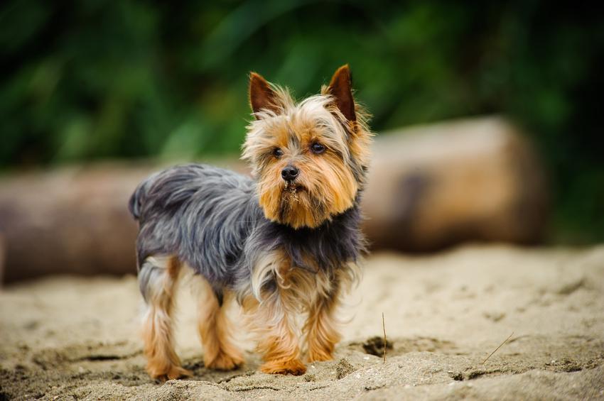 Pies rasy yorkshire terrier podczas spaceru w lesie oraz usposobienie i charakter rasy