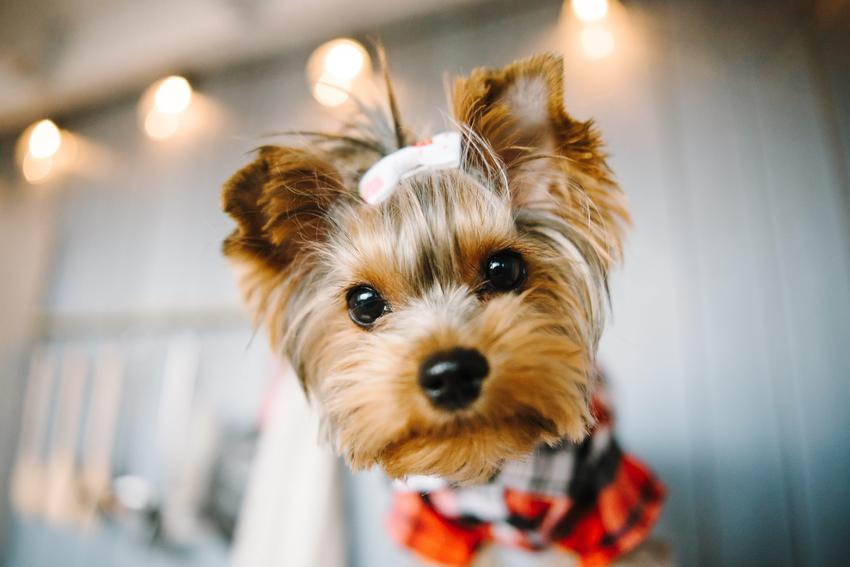 Pies rasy yorkshire terrier w ubranku i z kokardką na głowie oraz usposobienie i charakter rasy