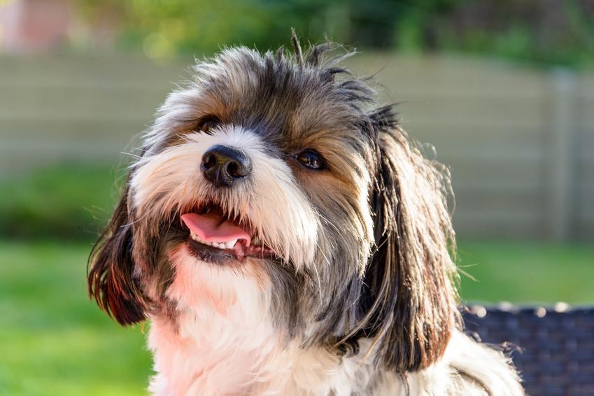 Pies yorkshire terrier biewer z uśmiechem w ogrodzie oraz charakter i usposonienie rasy