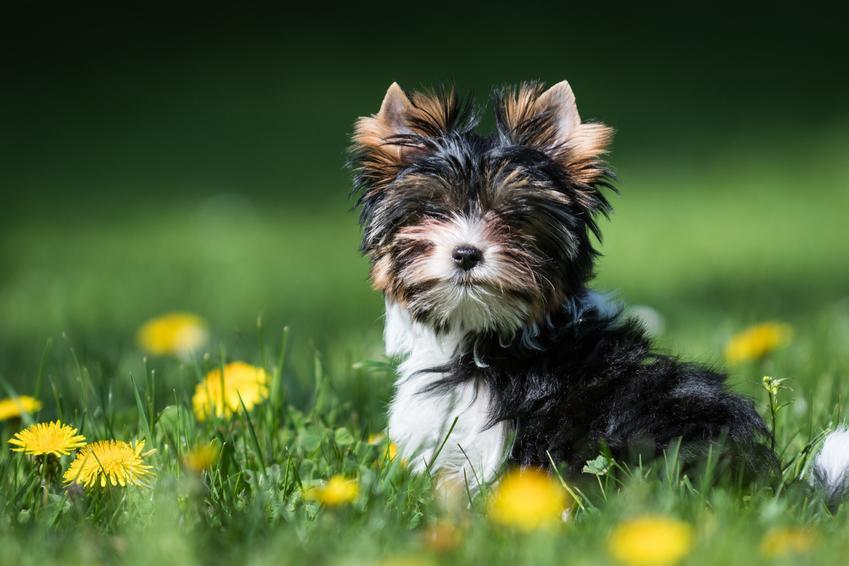 Pies rasy yorkshire terrier biewer w trawie na tle kwiatów oraz jego usposobienie