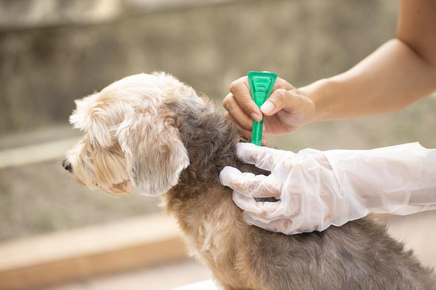 Zwalczanie pcheł u psa, czyli pchły u psa i najlepsze metody na ich pozbycie się