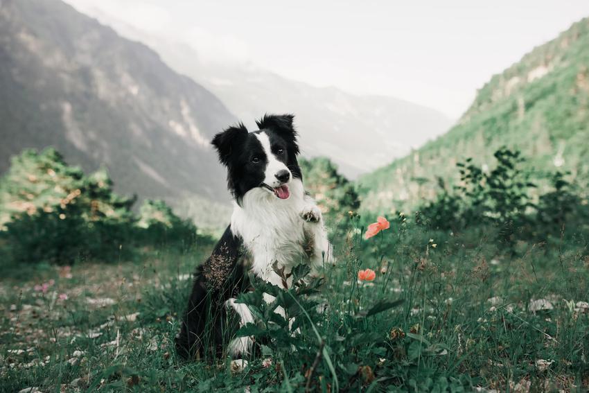Pies rasy border collie podczas spaceru na tle gór, a także charakter psa