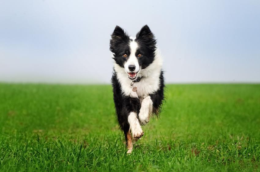 Pies rasy border collie radośnie biegający po trawie, a także charakter psa