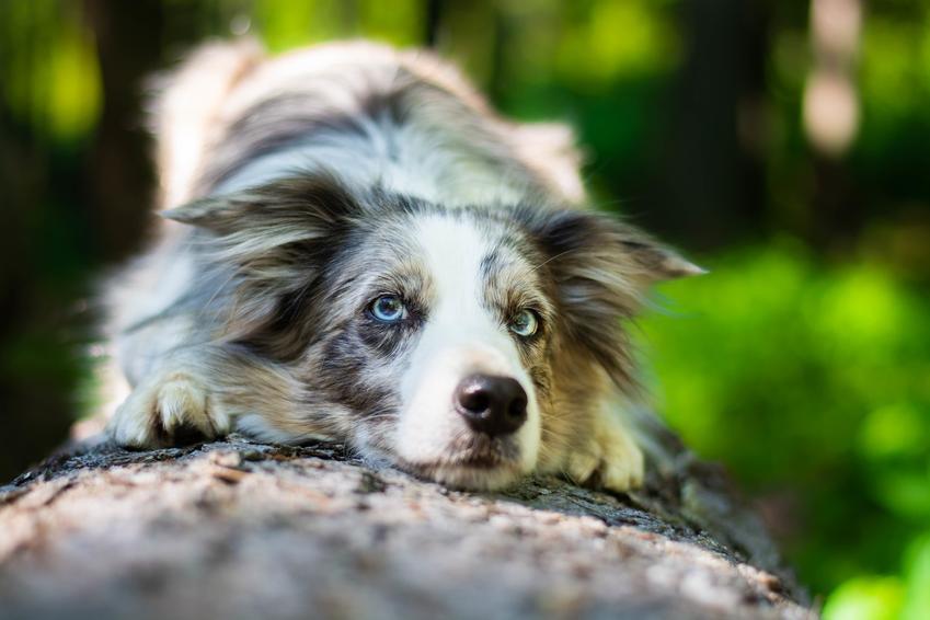 Pies rasy border collie blue merle odpoczywający w trakcie spaceru, a także hodowla i opis