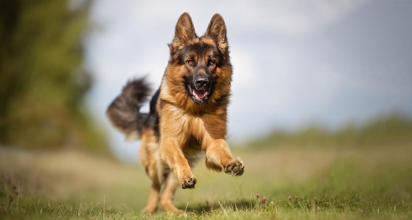 Owczark niemiecki biegnący po łące w trakcie spaceru, a także charakter owczarka niemieckiego