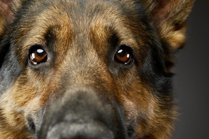 Owczarek niemiecki i zbliżenie na jego oczy, a także ile żyje owczarek niemiecki