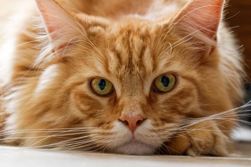 Rudy kot rasy maine coon leżący na podłodze, a także jego charakter i cena