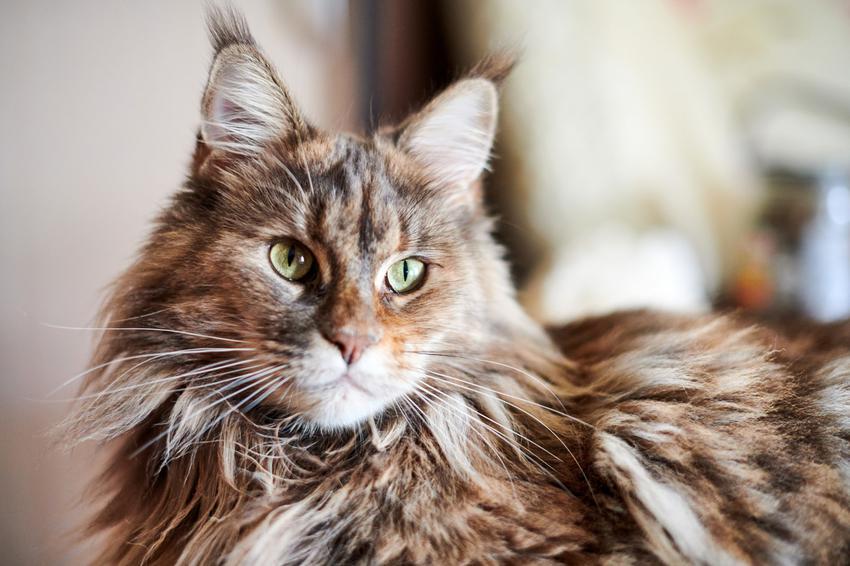 Kot rasy maine coon w pokoju w domu, a także jego charakter i cena