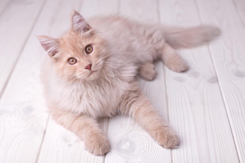 Kot rasy maine coon leżący na podłodze, a także jego charakter i cena