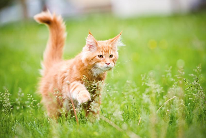 Kot rasy maine coon buszujący w trawie, a także polecana polska hodowla maine coon