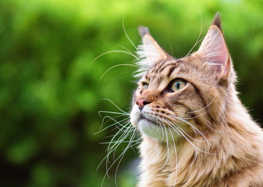 Kot rasy maine coon na tle zieleni, a także polecana polska hodowla maine coon
