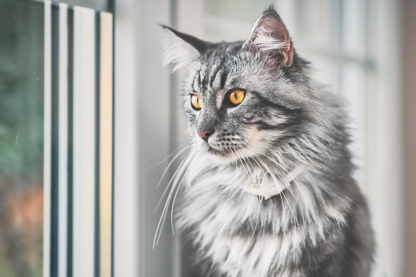 Kot rasy maine coon wyglądający przed okno w domu, a także cena maine coon