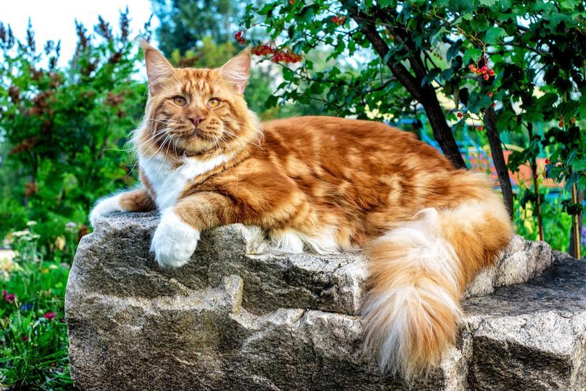 Rudy kot rasy maine coon leżący na kamieniu na podwórku oraz cena maine coon