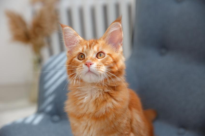 Mały rudy maine coon siedzący na kanapie w domu oraz charakter i usposobienie kota