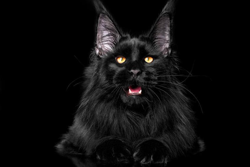 Czarny maine coon na czarnym tle oraz jego opis, charakter i usposobienie kota