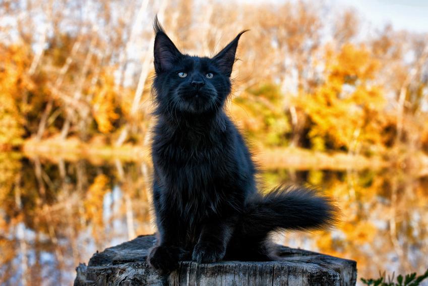Czarny maine coon na tle jesiennego parku oraz jego opis, charakter i usposobienie kota