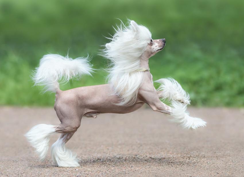 Pies rasy grzywacz chiński biegający po podwórku, a także cena grzwacza chińskiego