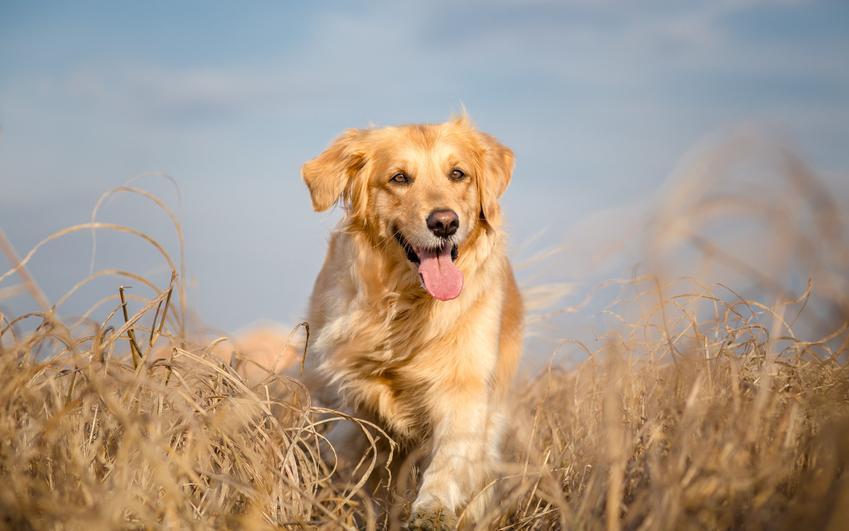 Pies rasy golden retriever biegający po polu oraz usposobienie golden retrievera krok po kroku