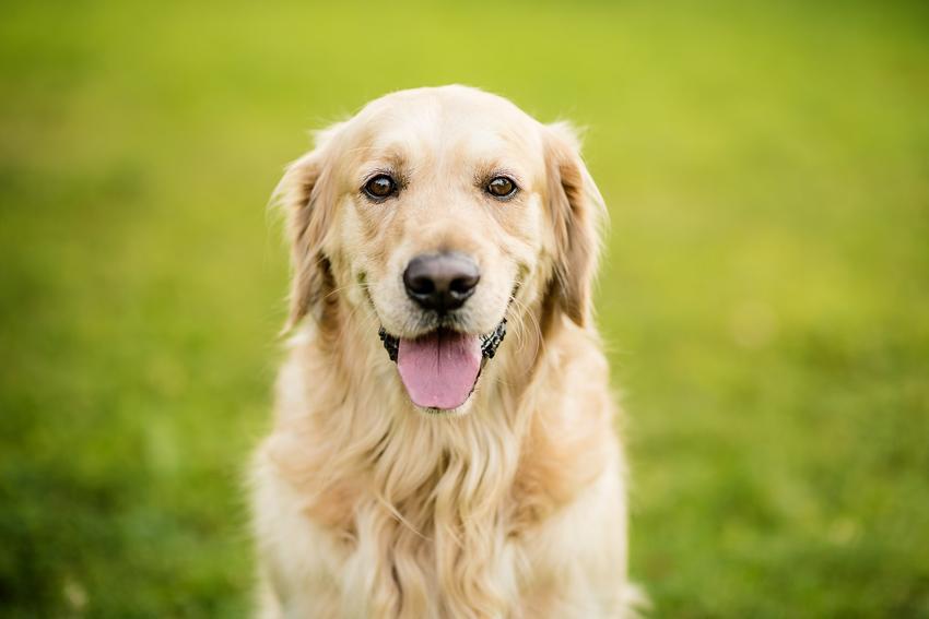 Golden retriever na tle trawy podczas spaceru, a także usposobienie golden retrievera