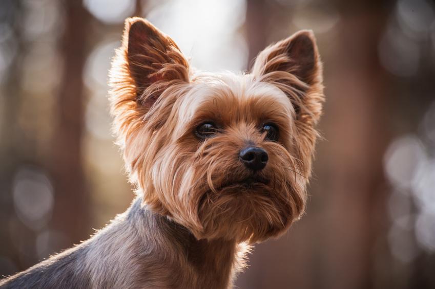 Pies rasy yorkshire terrier, a także yorkshire terrier miniaturka i co warto wiedzieć o rasach