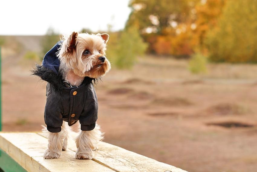 Pies rasy yorkshire terrier w sweterku podczas spaceru, a także polecane ubranka dla yorka
