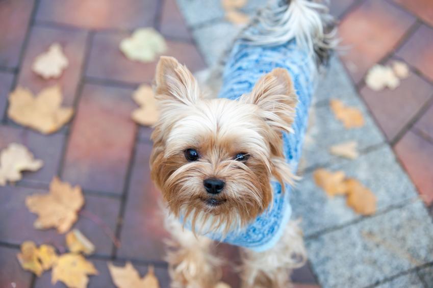 Pies rasy yorkshire terrier w niebieskim sweterku podczas spaceru, a także polecane ubranka dla yorka