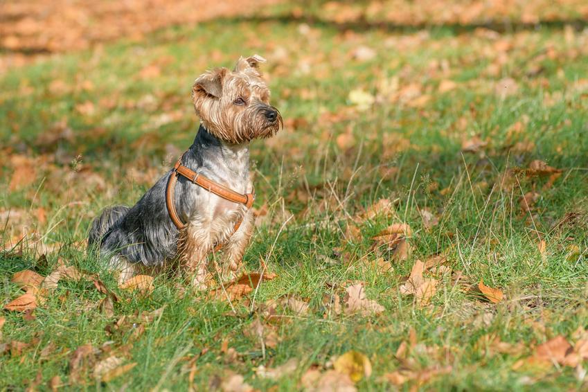 Pies rasy yorkshire terrier siedzący na trawie w brązowych szelkach, a także polecane szelki dla yorka