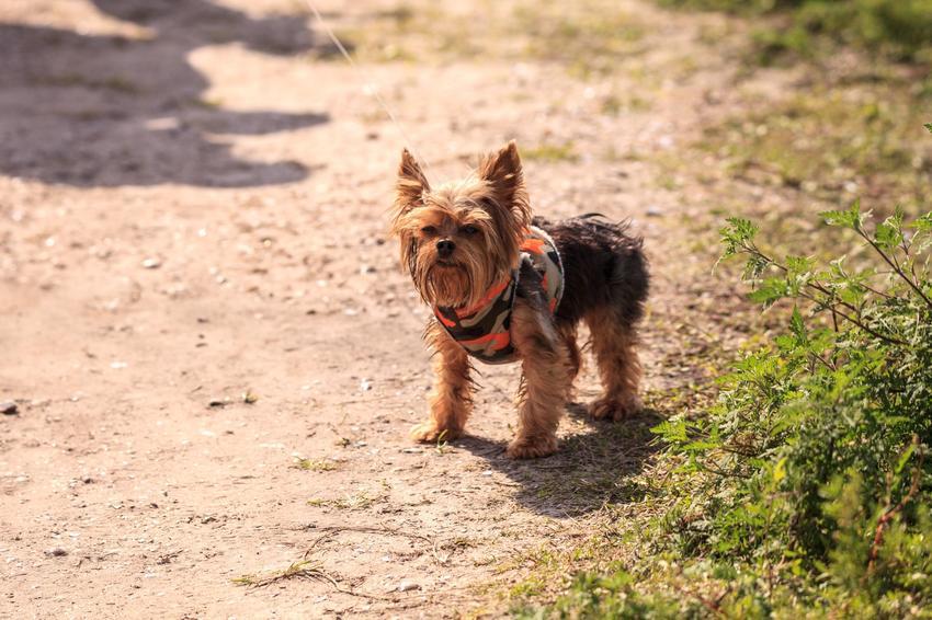 Yorkshire terrier podczas spaceru bez smyczy w szelkach, a także polecane szelki dla yorka
