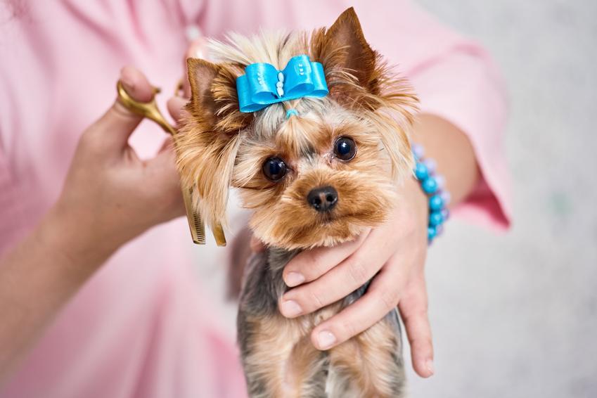Yorkshire terrier na rękach pani podczas strzyżenia, a także modne fryzury dla yorka