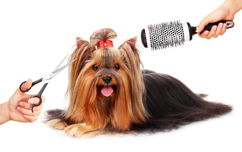 Pies rasy yorkshire terrier podczas strzyżenia i wykonywania fryzury, a także modne fryzury dla yorka