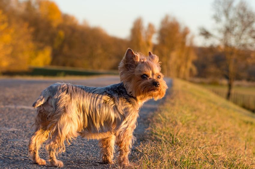 Pies rasy yorkshire terrier na drodze w czasie spaceru, a także informacje, ile żyją yorki