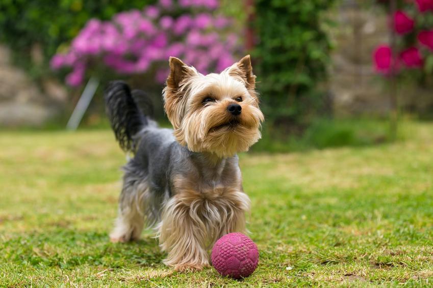 Pies rasy yorkshiere terrier bawiący się piłką na trawie, a także polecane hodowla yorków w Polsce