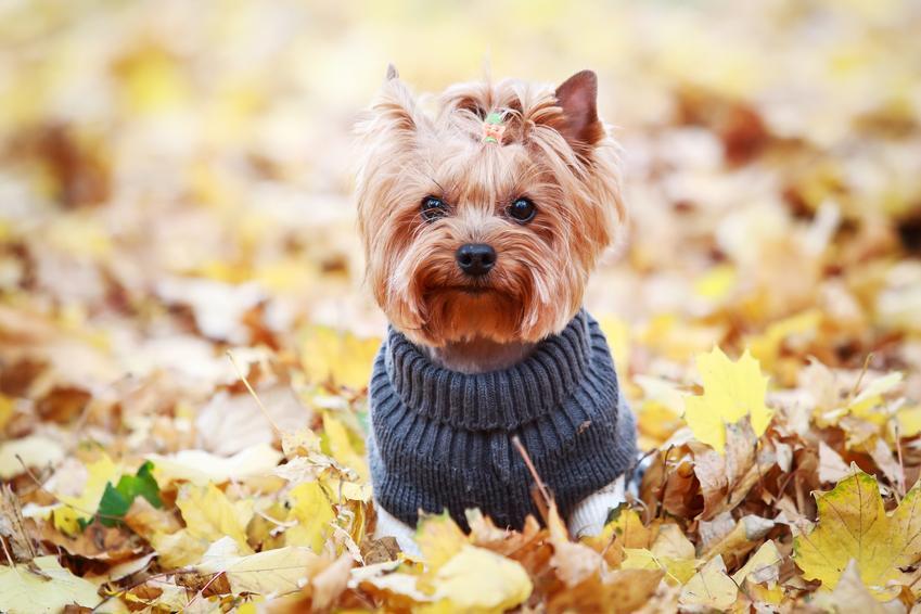 Pies rasy yorkshiere terrier w ubranku siedzący w liściach, a także polecane hodowla yorków w Polsce