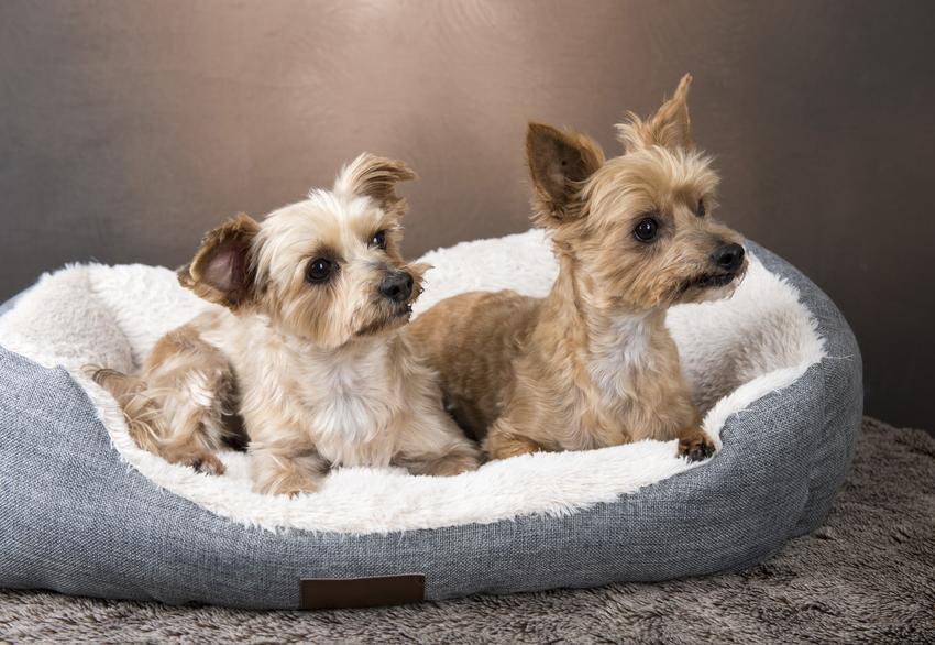 Dwa psy rasy yorkshiere terrier leżące w legowisku dla psa, a także polecane legowisko dla yorka